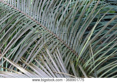 Norstog's Horncone (ceratozamia Norstogii). Called Bamboo Cycad Also. Endangered Species