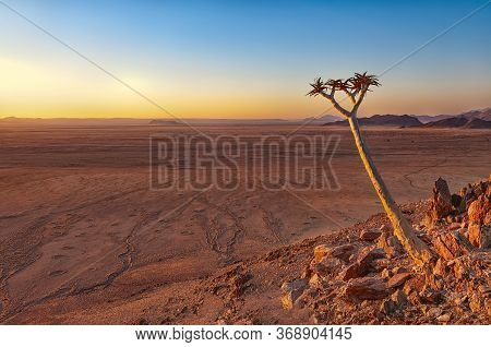 View Of A Quiver Tree (aloe Dichotoma) In Front Of The Namib Desert, Namibia. The Namib Is A Coastal