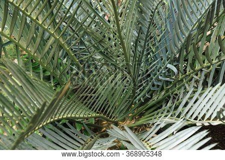 Close Up Image Of Karoo Cycad (encephalartos Lehmannii)