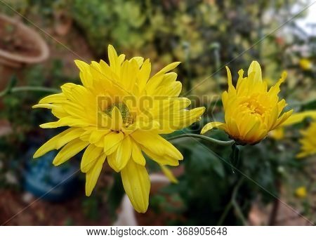 Garden Mums, Also Called As Sebati In India.native To Asia And Northeastern Europe. Most Species Ori