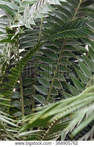 Modjadji Cycad (encephalartos Transvenosus). Called Mjdjadji's Palm Also