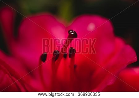 A Close Up Of A Red Flower With Red Filaments And Black Anther On The Top
