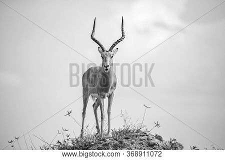 One Beautiful Antelope With Big Horns Is Standing On A Hill