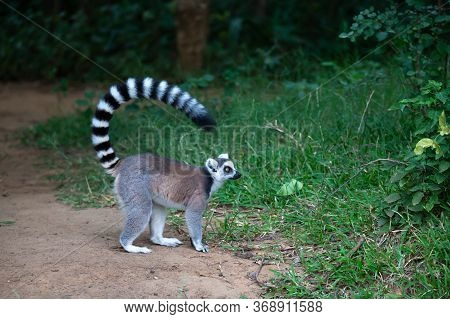 The Ring-tailed Lemur In Its Natural Environment