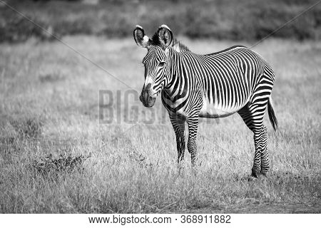 A Grevy Zebra In Samburu Is Standing In The Grassland In The Savannah