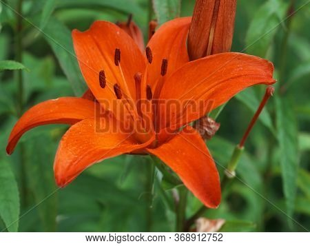 Closeup Orange Lily Flowers In A Garden Bed, Macro Shot, Pistil And Stamen,  Bud, And Drop Scent Oil