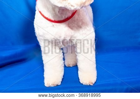A Small Beautiful And Adorable White Bichon Frise Dog Being Groomed By A Professional Groomer Using