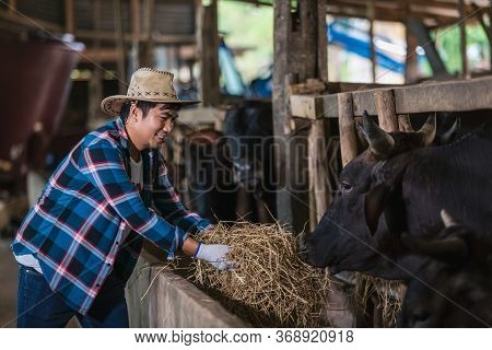 Asian Farmer With Wagyu - Japanese Shorthorn, Portrait Of A Wagyu Cow Of Japanese Origin To Feed In