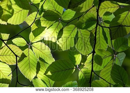 Green Foliage On The Trees Of Summer Forest, Nature Background