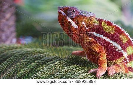 Chameleon Furcifer Pardalis Ambilobe Panther Chameleon Sitting On Tree Branch. Close Up Chameleon Pa