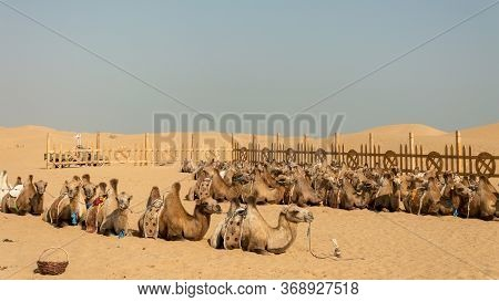 Two-humped Bactrian Camels In Kubuqi Desert, Inner Mongolia Province Of China