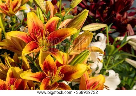 Beautiful Daylily Orange Flower. Several Colors Of Closeup Pistils. Summer Is A Sunny Day. Hemerocal