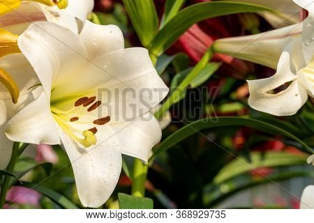 Beautiful White Lily Flower Close-up. One Flower With Pestles And Pollen. Lilium Candidum. Summer Is