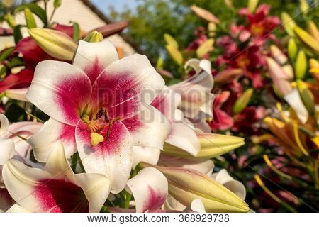 White Lily Flower With A Red Middle Closeup. One Flower With A Yellow Pestle And Pollen. Lilium Bulb