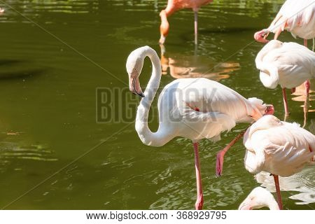 White Beautiful Flamingos In The Water. A Group Of Birds Stands With Reflection In The Water. Sunny