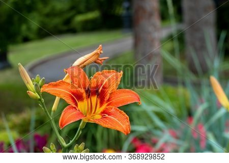 Beautiful Daylily Orange Flower Close-up. One Flower Blossomed On A Green Background. Hemerocalls Fu