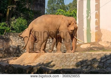 Big Elephant Mom With A Small Child. Elephant With White Tusks. Summer Sunny Day, Stone Fence.