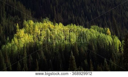 Colorful Aspens In The Middle Of A Piine Forest In Southwest Colorado During Early Fall