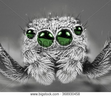 Jumping Spider With Green Eyes Extreme Macro