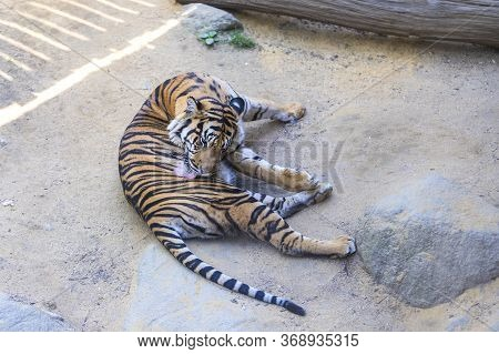 Panthera Tigris Sumatrae - Sumatran Tiger In Its Habitat In The Park. The Tiger Is Resting And Watch
