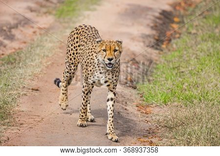 The cheetah walk freely on the car tracks of the savannah. Kenya, Masai Mara Park. Safari in spring in the African savannah. Concept of exotic, extreme tourism and photo tourism
