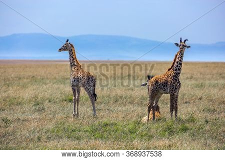 Pair of giraffes in the savannah looking for food. Masai Mara, Kenya. The highest terrestrial animal on the planet. The concept of active, environmental and photo tourism