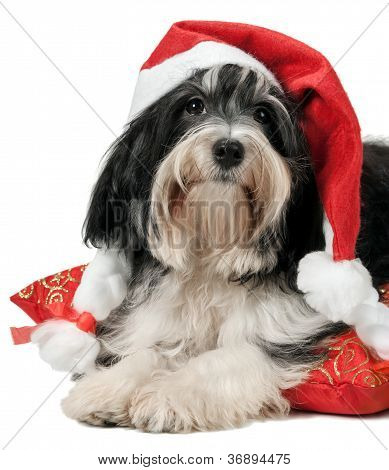 Cute Christmas Havanese Puppy