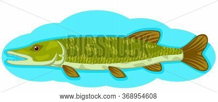 Pike Predator Swims In The Water On A White Background. Fishing