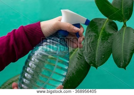 Young Girl's Hands Are Spraying Leaves Of Ficus Plant At Home. Gardener Watering House Plants By Usi
