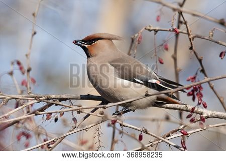 Bohemian Waxwing Sitting And Feeding On Barberry Bush. Beautiful Insolent Migrant Birds With Nice Vo