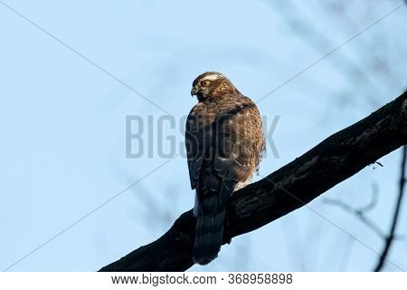 Eurasian Sparrowhawk Young Sitting On Branch Of Tree. Cute Brown Little Hawk With Bright Yellow Eyes
