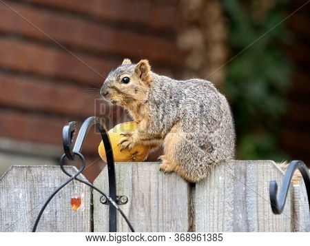A Squirrel Sitting On A Wooden Fence Holding Half An Orange It Stole From A Bird Feeder.  Fruit Eati