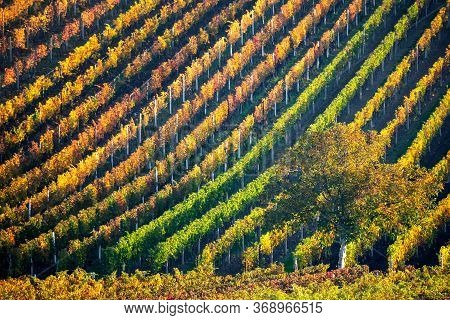 Colorful Rows Of Vineyards In Autumn. Green Lonely Tree Among Vineyards. Autumn Scenic Landscape Of