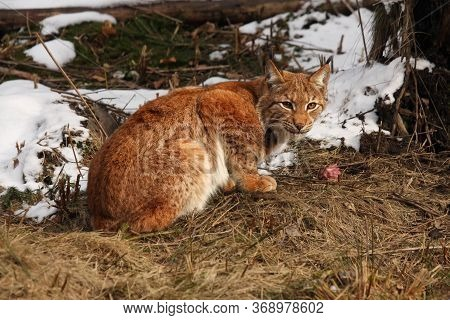 The Eurasian Lynx (lynx Lynx) Or Carpathian Lynx Sitting In The Beginning Of Spring With Dry Grass A