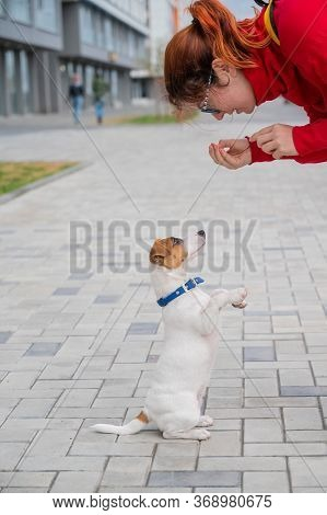 Clever Obedient Puppy Jack Russell Terrier Executes Owners Commands On The Street. A Faithful Thorou