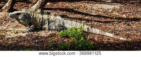 Peaceful Lizard Under The Bright Sunlight Enjoying The Day In The Ancient Mayan City Of Tulum In Qui
