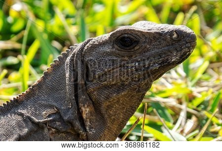 Brown Tropical Lizard Face With Grass In The Background From The Ancient Mayan City Of Tulum In Quin