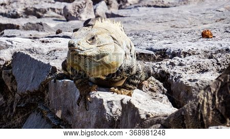 Big Lizard With Sunlight Of His Scales Relaxing On The Corner A Old Ruins Inside The Ancient Mayan C