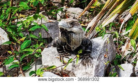 Cute Tropical Lizard Surrounded By Nature From Inside The Ancient Mayan City Of Tulum In Quintana Ro