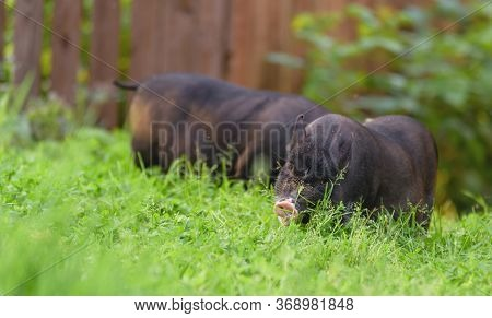 Little Pig Waiting For Feed On The Farm. Pigs In A Stall. Portrait Of An Animal.pig Closeup On A Bac