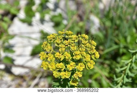 Yellow Tansy Flowering Plant On A Meadow