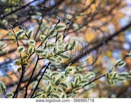 Willow Blossom In Spring. Fluffy Willow Flowers On A Bright Background Close-up. Natural Spring Back