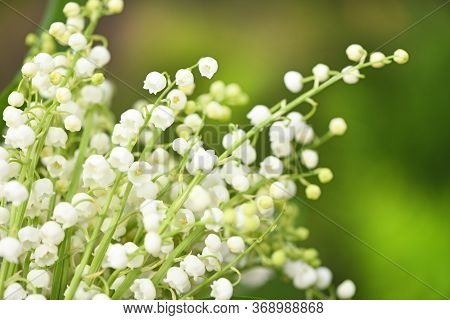 Lily Of The Valley Flowers. Natural Background With Blooming Lilies Of The Valley. High Resolution P