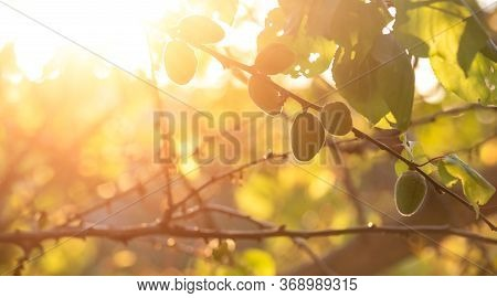 Green Apricots On A Tree Branch. Spring Green. The Sun's Rays Shine Through The Branches Of An Apric