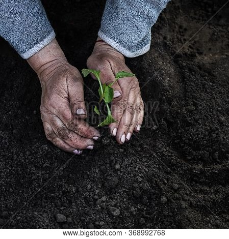 Cropped Female Elderly Hands Plant A Young Plant Of Tomato Seedlings In The Ground. Concept, Gardeni