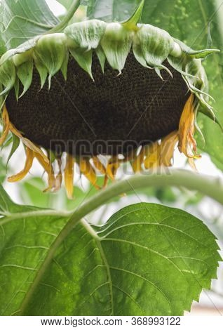 Ripe Sunflower Plant, Flower Head Close-up With Seeds.