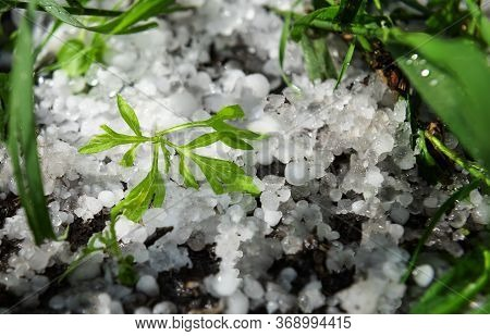Scene After Hail Storm. Small Green Plant Is Covered By Natural White Hail Balls That Are Melting Un