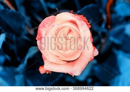 Coral Rose. Floral Background Of Blooming Roses, Coral Color. Live Coral Color Flowers. Coral Rose C