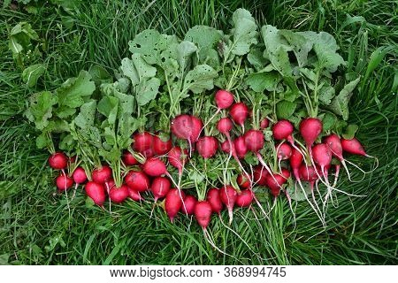 Radishes Harvest In An Orchard At Urban Garden Radish Plants