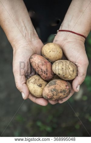 Assorted White And Red Dirty Fruit Potatoes In Female Hands, Close-up. View From Above. Copy Space